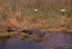 Alligator1-300x205