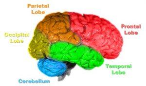Brain-anatomy-300x177