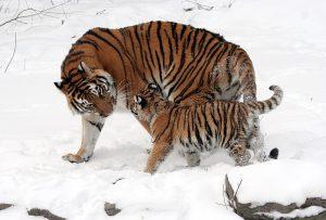 800px-Panthera_tigris_altaica_13_-_Buffalo_Zoo-300x203