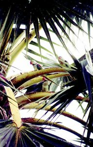 382px-Psittacula_eupatria_-_three_in_palm_tree-191x300